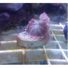Light Purple Mushrooms Frag