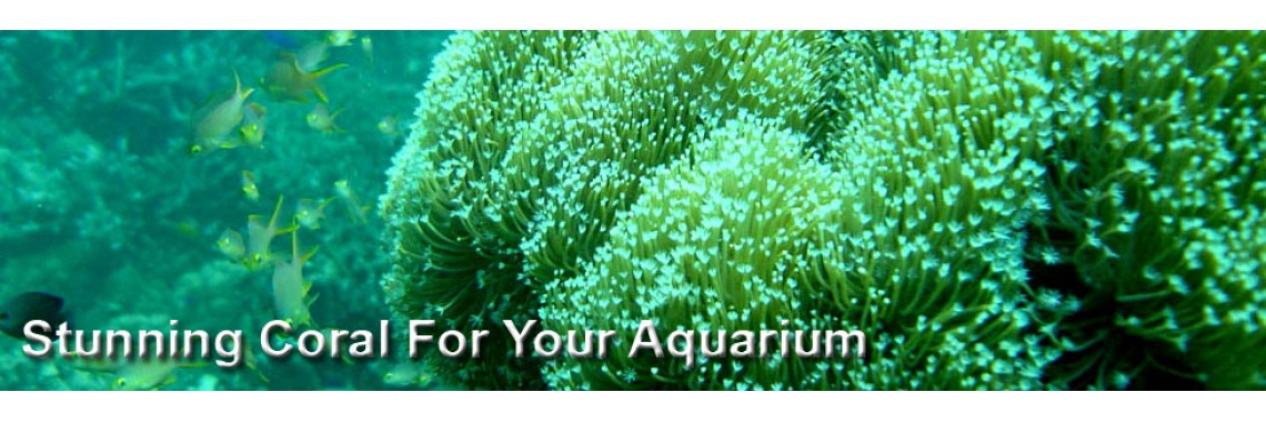 Stunning Coral For Your Aquarium