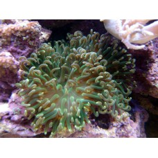 Long Tenticle Anemone