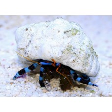 Blue Hermit Crab