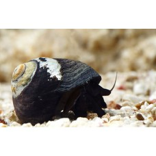 Black Margarita Snail