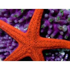 Red Sea Starfish