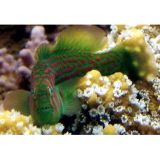Coral Green Goby