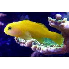 Coral Yellow Goby