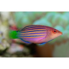 Six Lined Wrasse